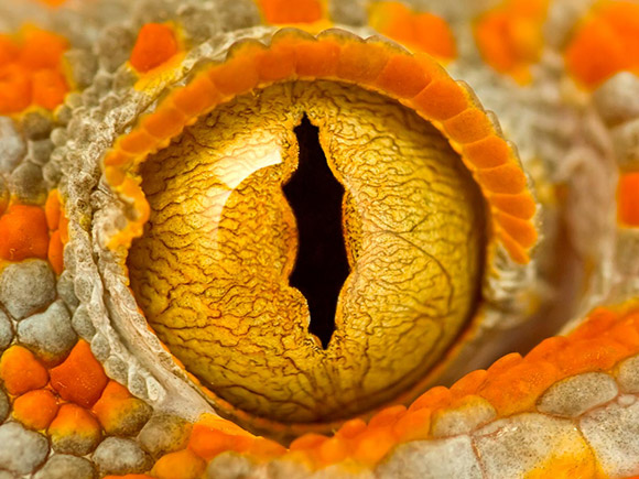 tokay gecko eye macro